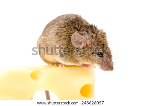 Close view of a tiny house mouse (Mus musculus) on big cheese - stock photo