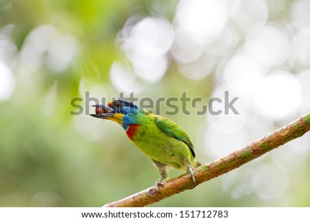 close view of bird Taiwan Barbet,Megalaima nuchalis - stock photo
