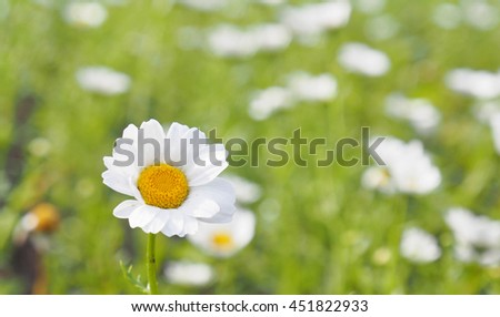Close view of camomile flower - stock photo