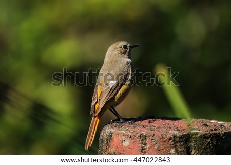 close view of female Daurian Redstart in park  - stock photo