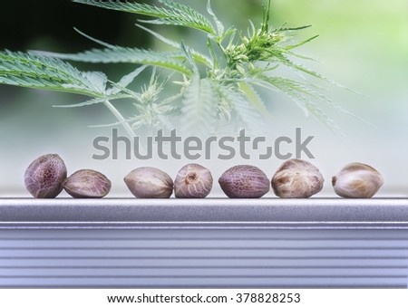 Close view of hemp seeds and leaves with growing seeds - stock photo