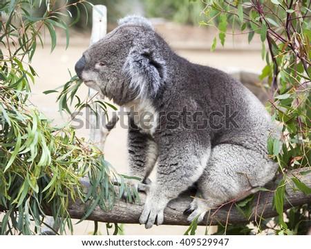 Close view of the koala eating leaves in wildlife reservation (Tasmania, Australia). - stock photo