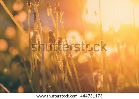 Closed dandelions at sunset - stock photo