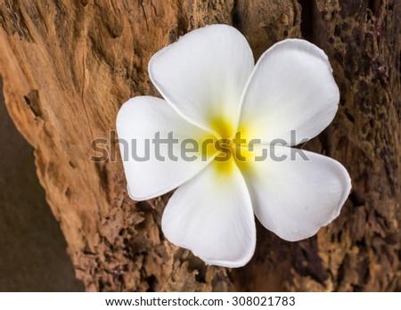 closed up beautiful white flower plumeria or frangipany on wood texture - stock photo
