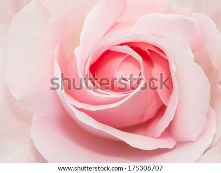 closed up of pink rose - stock photo