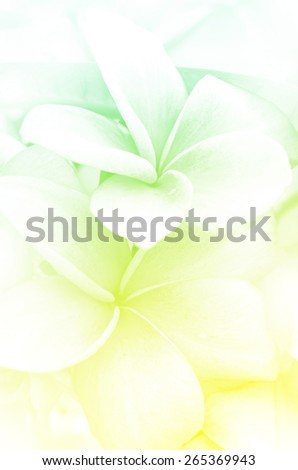 Closed-up of Plumeria spp. (frangipani flowers, Frangipani, Pagoda tree or Temple tree) with Soft Focus Color Filtered as Background. - stock photo