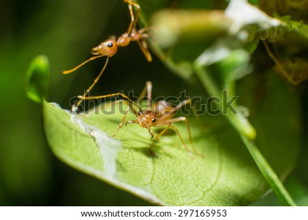 closed up of red ant - stock photo
