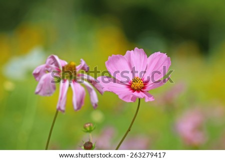 Closed up pink cosmos sulfur flower field in the morning - stock photo
