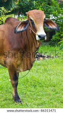 Closed up with the brown Brahman cattle standing on the yard - stock photo