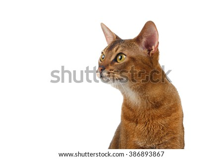 Closeup Abyssinian Cat Curiously Looking at left isolated on White background - stock photo