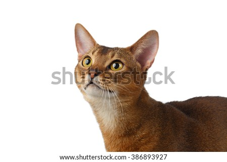 Closeup Abyssinian Cat Curiously Looking up isolated on White background - stock photo