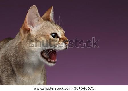 Closeup Aggressive Singapura Cat Hisses Profile view on purple background - stock photo