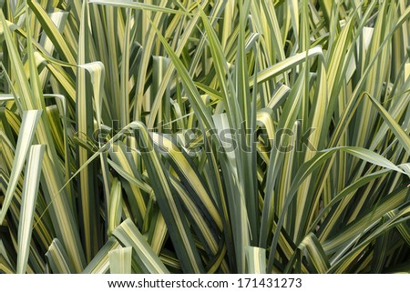 Closeup background of tall, evergreen ornamental sedge grass showing long leaves with green on the borders and a yellow gold stripe running down the center of each leaf growing in south Florida. - stock photo