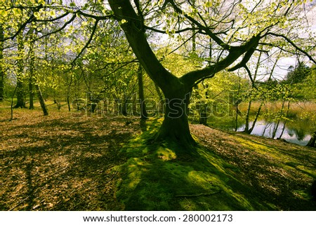 Closeup beech tree in a Danish springtime forest - stock photo