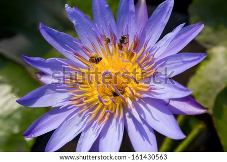 Closeup bees and purple lotus - stock photo