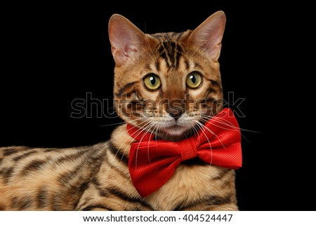 Closeup Bengal Male Cat with bow tie Curiously Looking in Camera on Black Isolated Background - stock photo