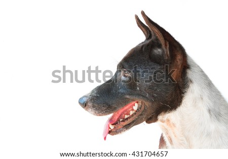 Closeup black and white color dog looking at something on white background - stock photo