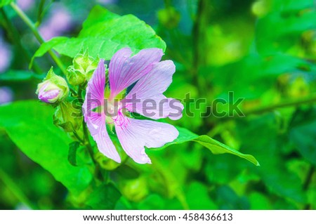 Closeup blossom view of Lavatera thuringiaca flower, other name is garden tree mallow. Shallow depth of field. Summer floral background - stock photo