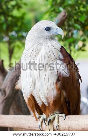 closeup Brahminy Kite. Red-backed Sea Eagle. Thailand, vertical - stock photo