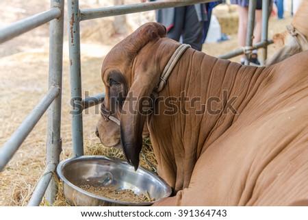Closeup brown brahman cow in cage,korat,thailand - stock photo
