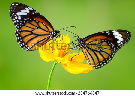 Closeup Butterflys on Flower (Common tiger butterfly) - stock photo
