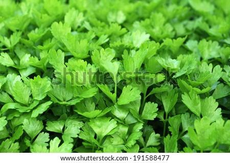 closeup Coriander (cilantro) trees in garden - stock photo