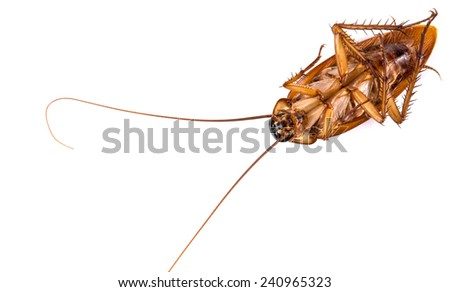 Closeup dead brown cockroach isolated on white background  - stock photo