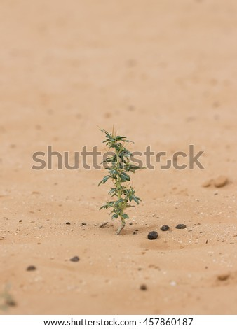 closeup desert plant (Xanthium spinosum) on sand at summer day. Vertical composition - stock photo