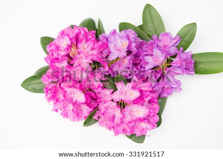Closeup evergreen magenta blooming rhododendron bouquet national flower of Nepal - stock photo