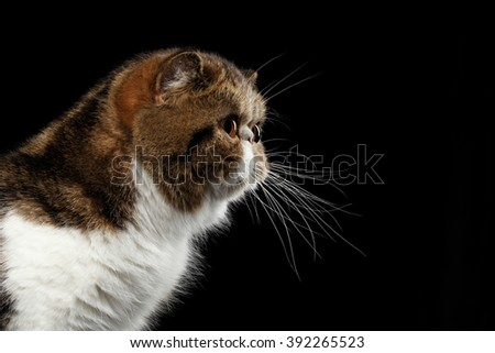 Closeup Exotic Cat Looking in Profile view, Isolated on Black background - stock photo
