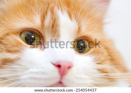 Closeup eyes beautiful adult red yellow cat - stock photo