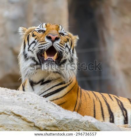 Closeup face Tiger lying on the rocks. - stock photo
