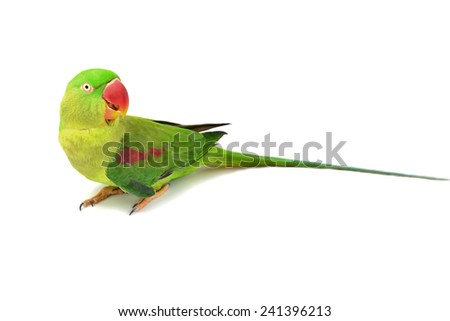 Closeup Female Alexandrine Parakeet bird isolated on white backgroud - stock photo