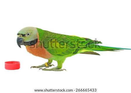 Closeup female Red-breasted Parakeet isolated on white background (Psittacula alexandri) - stock photo