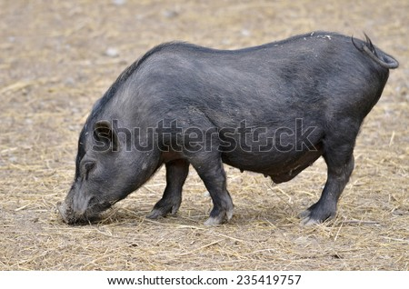 Closeup female Vietnamese potbellied pig (Sus scrofa domesticus) walking on ground and viewed of profile - stock photo