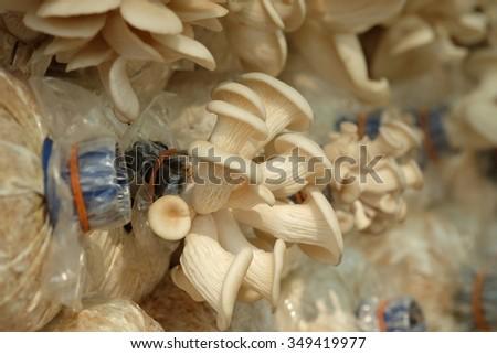 Closeup fresh eryngii mushrooms growing at mushroom farm. - stock photo