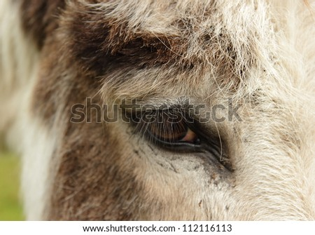 Closeup from a donkey eye - stock photo