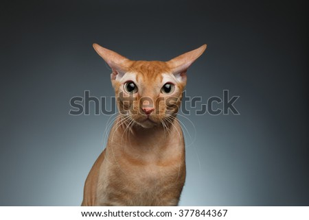 Closeup Funny Ginger Sphynx Cat Surprised Looking in camera on blue background - stock photo