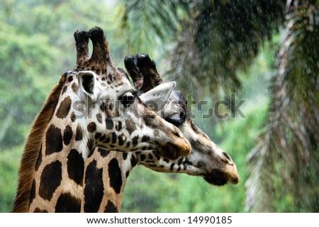 Closeup Giraffa - stock photo