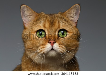 Closeup Golden British cat with  green eyes on gray background - stock photo