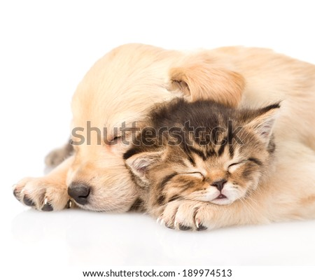 Closeup golden retriever puppy dog sleep with british kitten. isolated on white background - stock photo