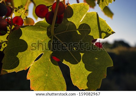 Closeup grapes and leaf with shadows - stock photo