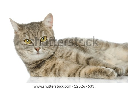 closeup gray cat looking at camera. isolated on white background - stock photo