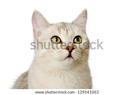 closeup gray cat looking away. isolated on white background - stock photo