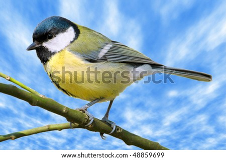 Closeup great tit (Parus major) on branch on cloudy blue sky background - stock photo