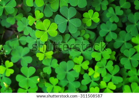 Closeup Green Clover Leaf for Background Uses. - stock photo
