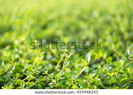 Closeup  green foliage and selective shallow dept of field for nature background - stock photo