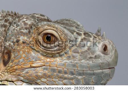 Closeup Green Iguana on Blue Background, Profile view - stock photo