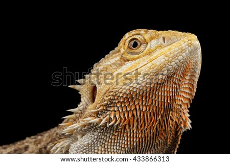Closeup head of Beutiful Bearded Dragon Llizard, agama, Isolated on Black Background, Side view - stock photo