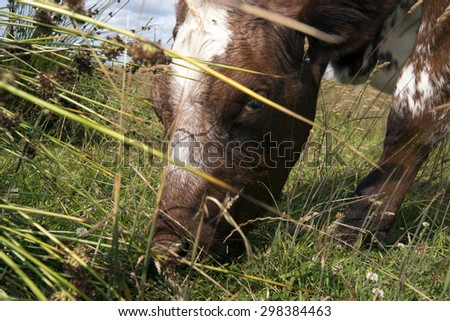 Closeup head of eating cow on a Danish meadow - stock photo
